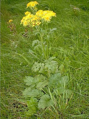 Ragwort Stem and Flower stage